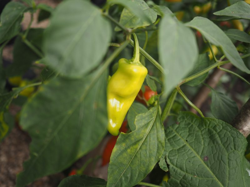 What-Lizzy-loves-chillies